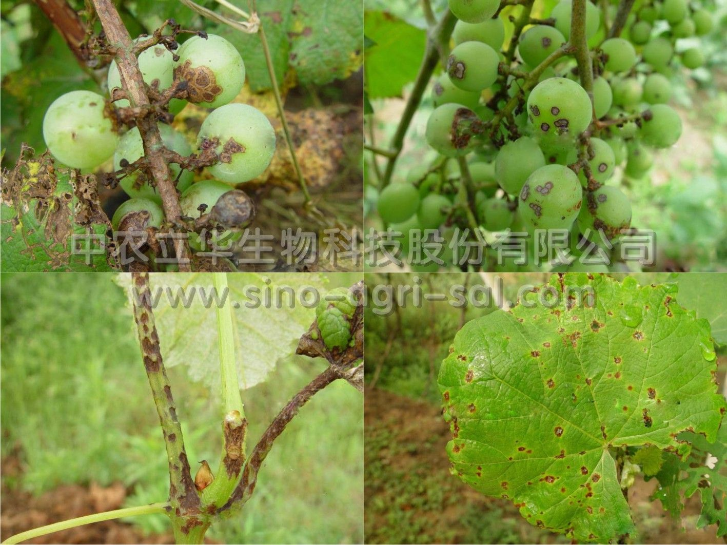 ⑤增施腐熟的有机肥,保证树体营养全面,健壮生长.