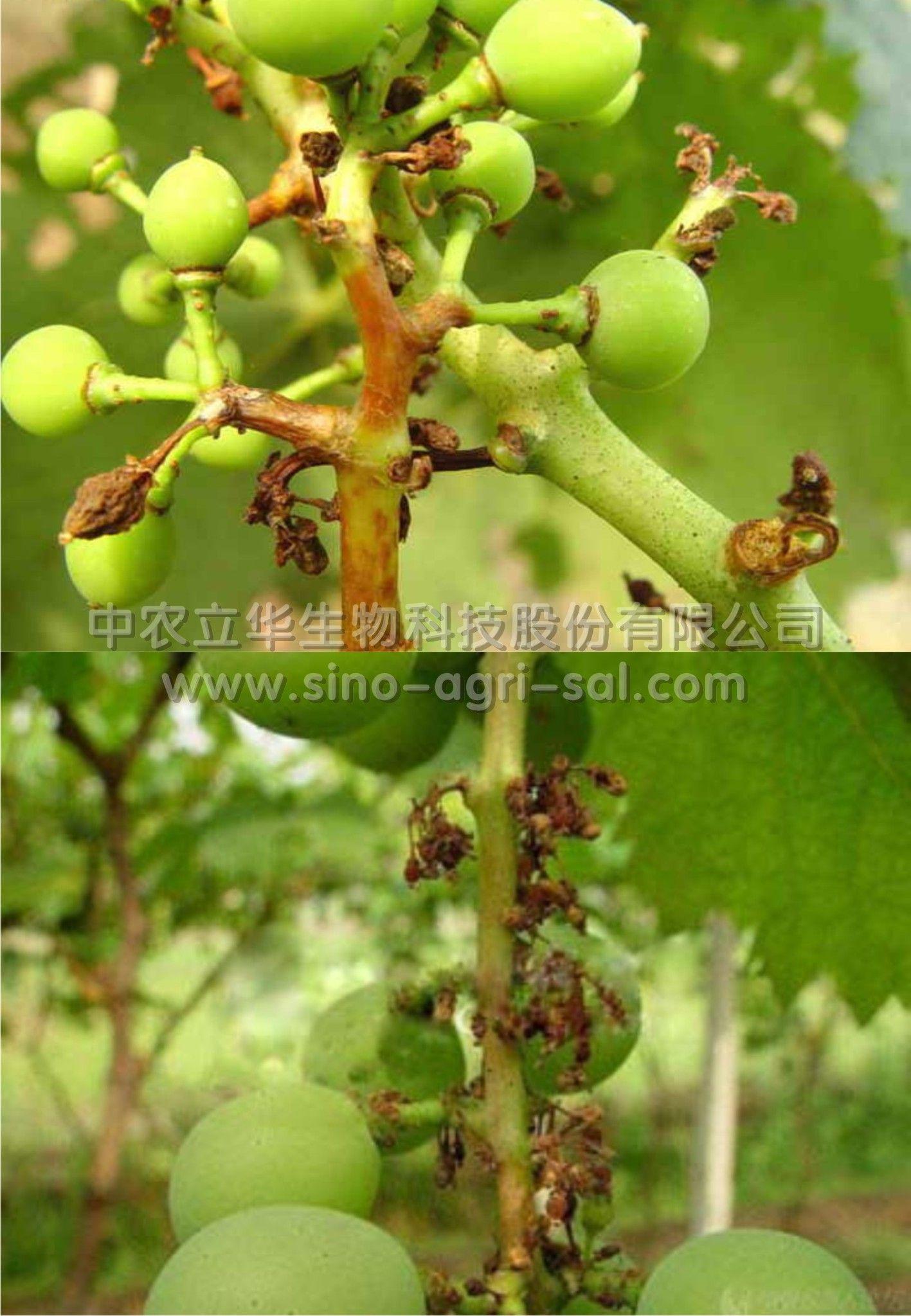 病虫草害识别防治 水果蔬菜 葡萄  防治方法:       (1)农业防治:①因